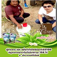 โพลิเมอร์-สารอุ้มน้ำพีดี100-ใช้โพลิเมอร์ในการปลูกยางพาราในไร่สับปะรด